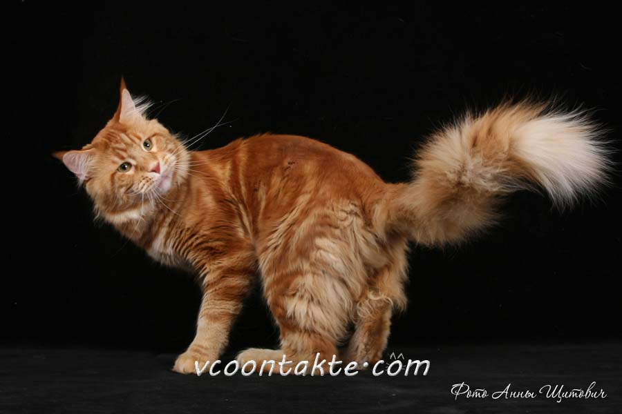 maincoon Pinoccio