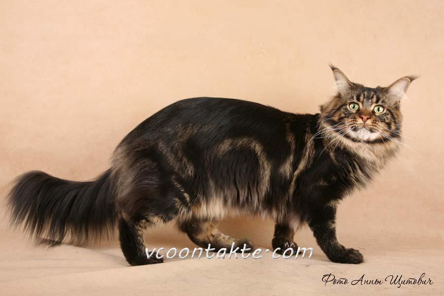мейн-кун черный мрамор фото